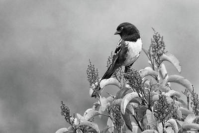 Photograph - Black And White Wildlife Photography - Spotted Towhee by Ram Vasudev