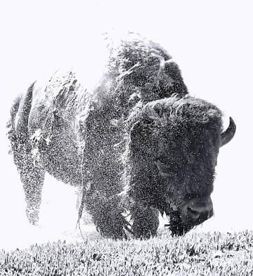 Photograph - Black And White Yellowstone Bison Splash by Dan Sproul