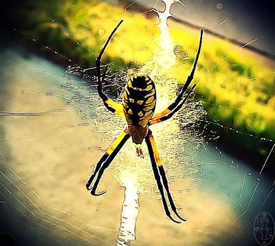 Photograph - Black And Yellow Argiope Garden Spider by Iowan Stone-Flowers