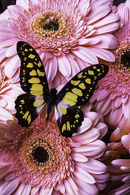 Chrysanthemums Photograph - Black And Yellow Butterfly by Garry Gay