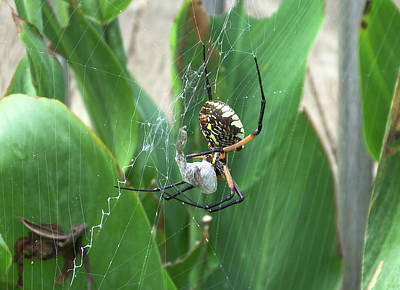 Photograph - Black And Yellow Garden Spider by Cathy Harper