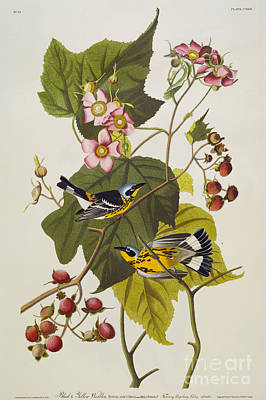 Magnolia Drawing - Black And Yellow Warbler by John James Audubon