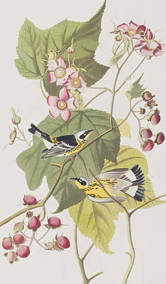 Pink Flower Branch Painting - Black And Yellow Warblers by John James Audubon