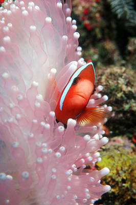 Papua New Guinea Photograph - Black Anemone Fish by Georgette Douwma