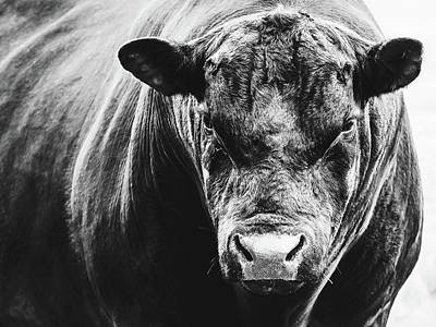Photograph - Black Angus Bull by Debi Bishop