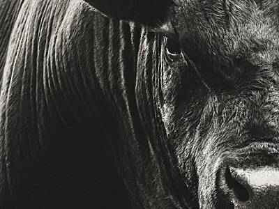 Photograph - Black Angus Bull Portrait by Debi Bishop
