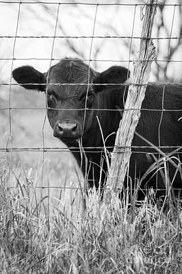 Black Angus Calf Art Print by Imagery by Charly
