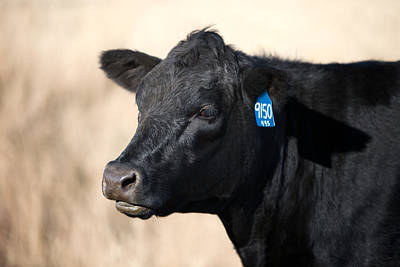 Angus Steer Photograph - Black Angus Cow by Todd Klassy