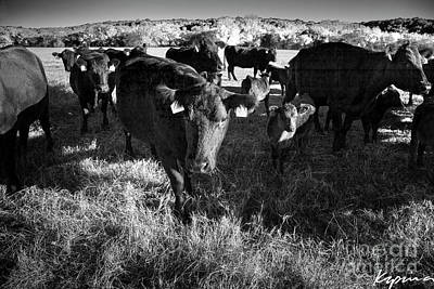 Photograph - Black Angus, Glen Rose Texas by Greg Kopriva