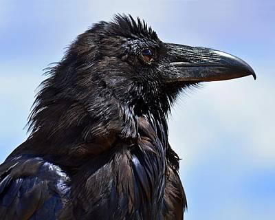 Photograph - Black As Night - Raven by KJ Swan