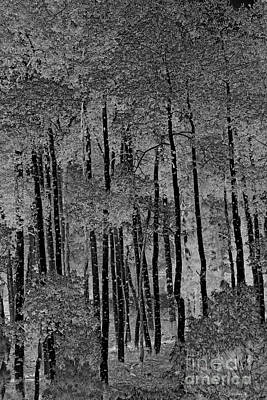 Photograph - Black Aspen by John Stephens