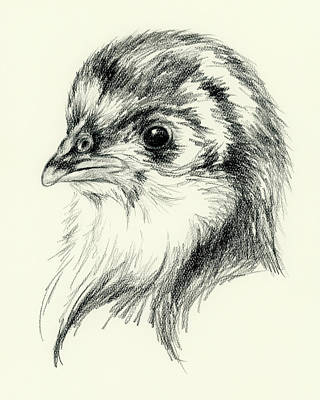 Drawing - Black Australorp Chick In Charcoal by MM Anderson
