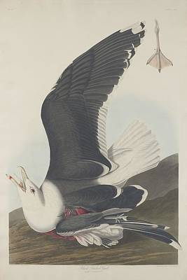 Seagull Drawing - Black-backed Gull by Dreyer Wildlife Print Collections