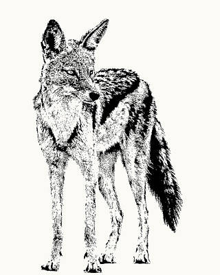Photograph - Black-backed Jackal Full Figure by Scotch Macaskill