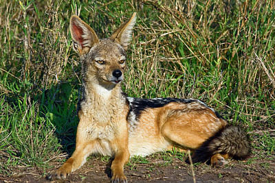 Photograph - Black-backed Jackal by Sally Weigand