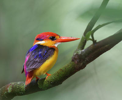 Multi Colored Photograph - Black-backed Kingfisher by Copyright by David Yeo
