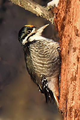 Photograph - Black-backed Woodpecker by Alan Lenk