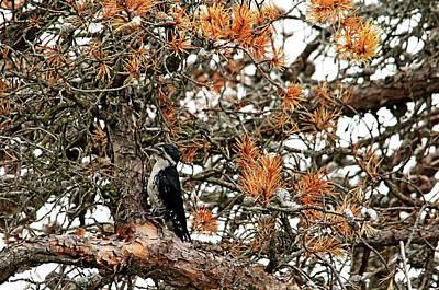 Photograph - Black Backed Woodpecker by Debbie Oppermann