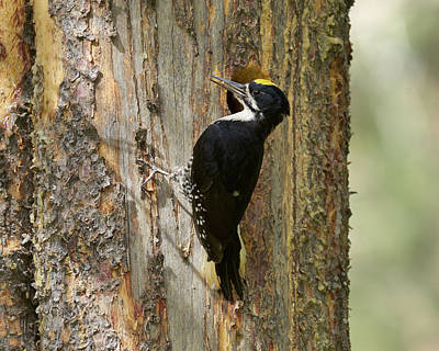 Photograph - Black-backed Woodpecker by Doug Herr