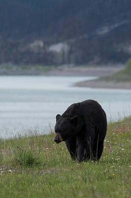 Photograph - Black Bear, Alberta, Canada by David Stanley