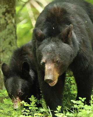 Photograph - Black Bear And Cub On Ground by Coby Cooper