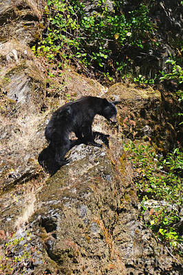 Photograph - Black Bear by Ansel Price