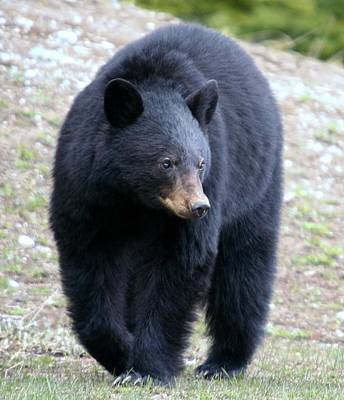 National Park Photograph - Black Bear At Banff National Park by Jetson Nguyen