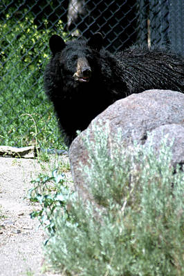 Color Photograph - Black Bear Aware  by LeeAnn McLaneGoetz McLaneGoetzStudioLLCcom