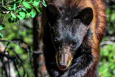 Photograph - Black Bear - Being Persistent by Marilyn Burton