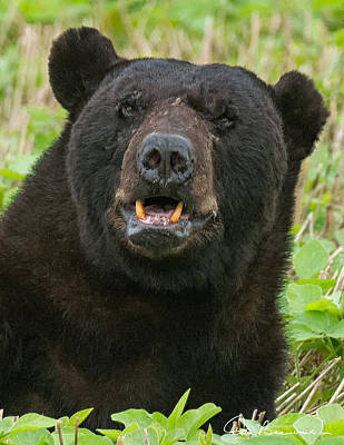 Dan Beauvais Royalty-Free and Rights-Managed Images - Black Bear Boar 7467 by Dan Beauvais