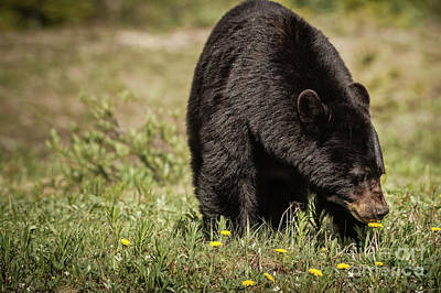 Photograph - Black Bear by Brad Allen Fine Art