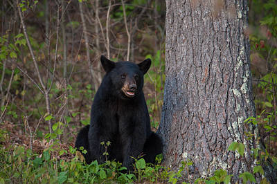 Photograph - Black Bear by Brenda Jacobs