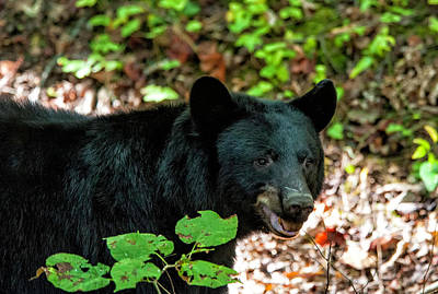 Photograph - Black Bear by Cathie Crow