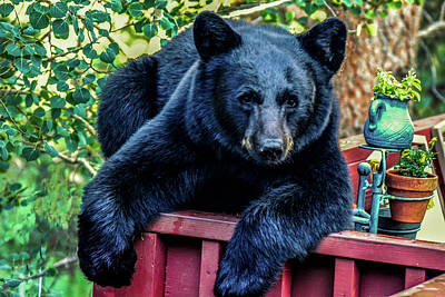 Photograph - Black Bear - Chilled Out by Marilyn Burton