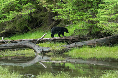 Queen Charlotte Islands Photograph - Black Bear by Christian Heeb
