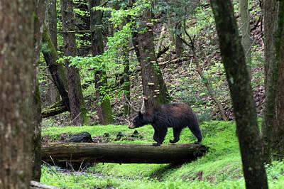 Black Bear Crossing Log In Woods Art Print