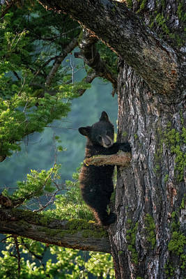 Photograph - Black Bear Cub At Yellowstone Np_grk6560_05212018-2 by Greg Kluempers
