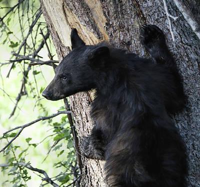 Black Bear Cub Climbing A Tree Art Print