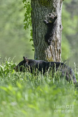Photograph - Black Bear Cub Climbing Tree by Dan Friend