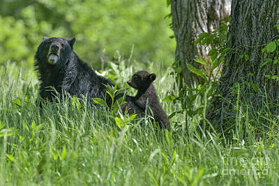 Photograph - Black Bear Cub Climbing Up On Mothers Back by Dan Friend