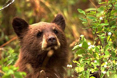 Photograph - Black Bear Cub Closeup by Adam Jewell