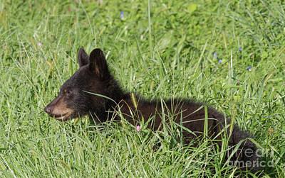 Photograph - Black Bear Cub by David Cutts