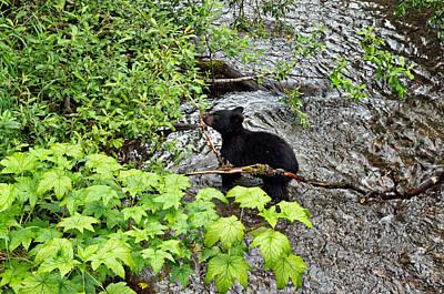 Photograph - Black Bear Cub In Steep Creek by Cathy Mahnke