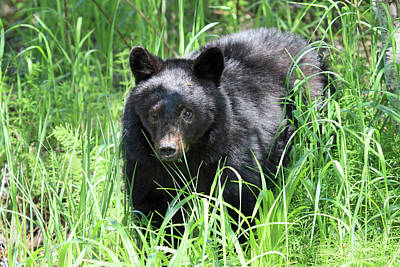 Photograph - Black Bear Cub In The Grass by Pierre Leclerc Photography