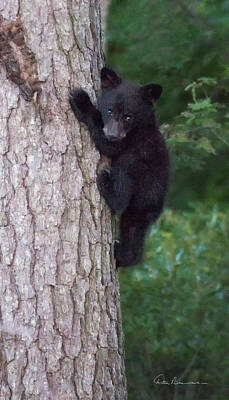 Dan Beauvais Royalty-Free and Rights-Managed Images - Black Bear Cub in Tree 9525 by Dan Beauvais