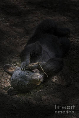 Photograph - Black Bear Cub Laying On Ground In Shadow by Dan Friend