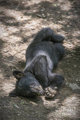 Photograph - Black Bear Cub Laying On The Ground      by Dan Friend