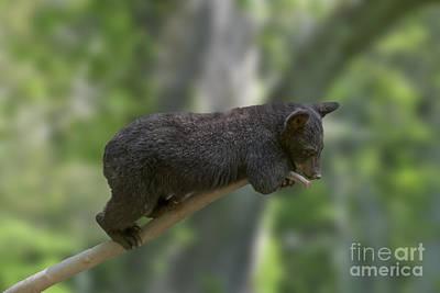 Photograph - Black Bear Cub On Limb  by Dan Friend
