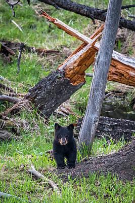 Photograph - Black Bear Cub by Paul Freidlund