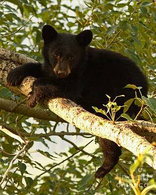 Black Bear Cub Resting On A Tree Branch Art Print